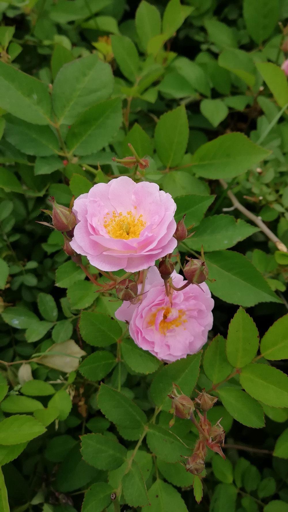 蔷薇花2.jpg
