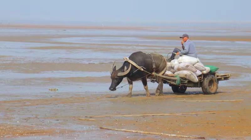 海滩上的牛车